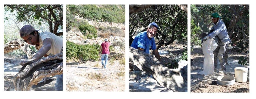 Chios - pestovatelia mastichy