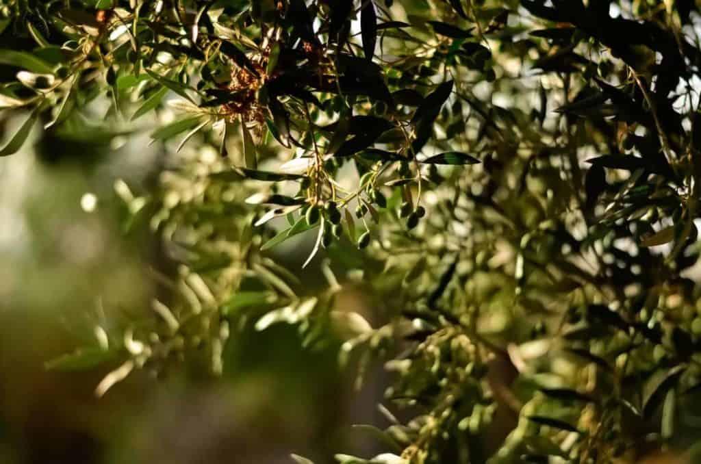 Extrakt z olív - vysoký tlak
