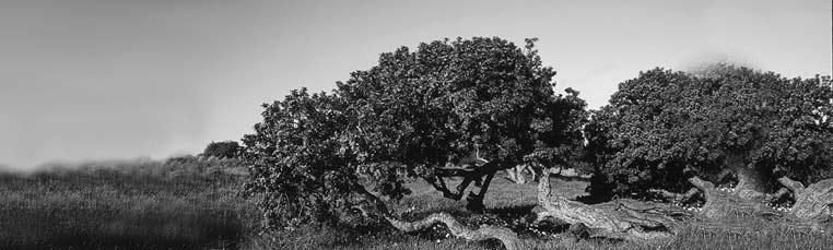 Pistacia Lentiscus - strom