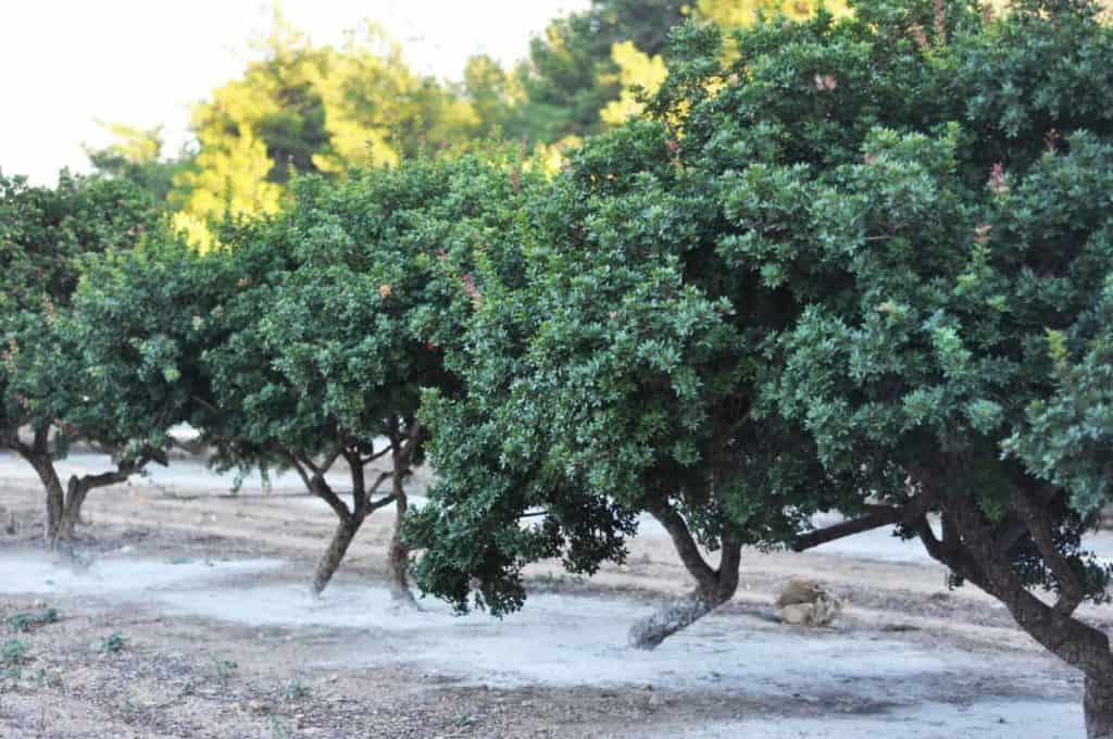 Masticha - stromy