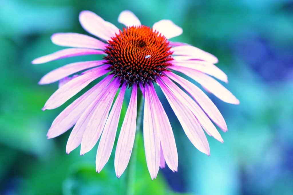 Echinacea - liečivé účinky