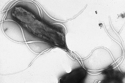 Helikobakter pylori - detail baktérie.