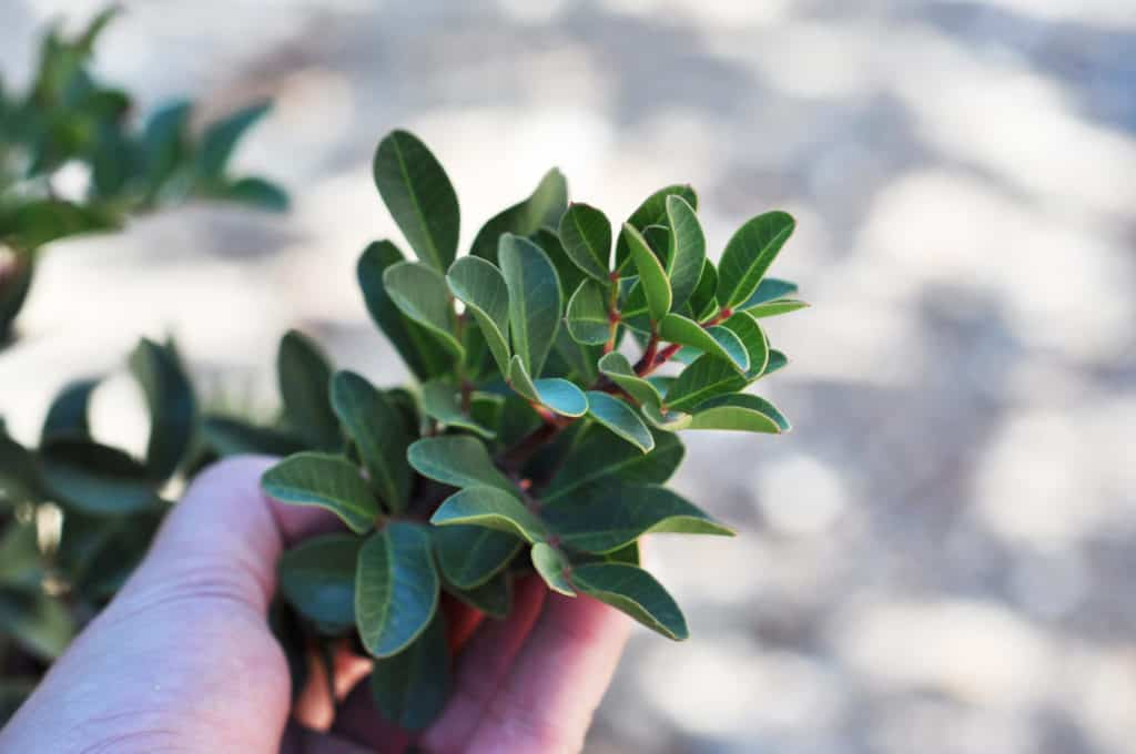 Pistacia Lentiscus - detail stromu