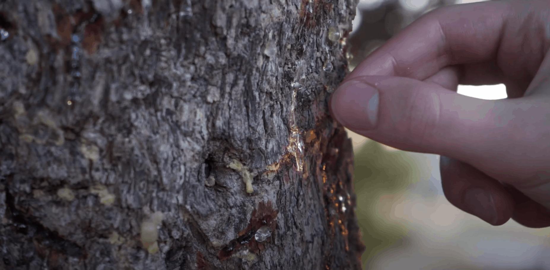 Masticha - živica na strome