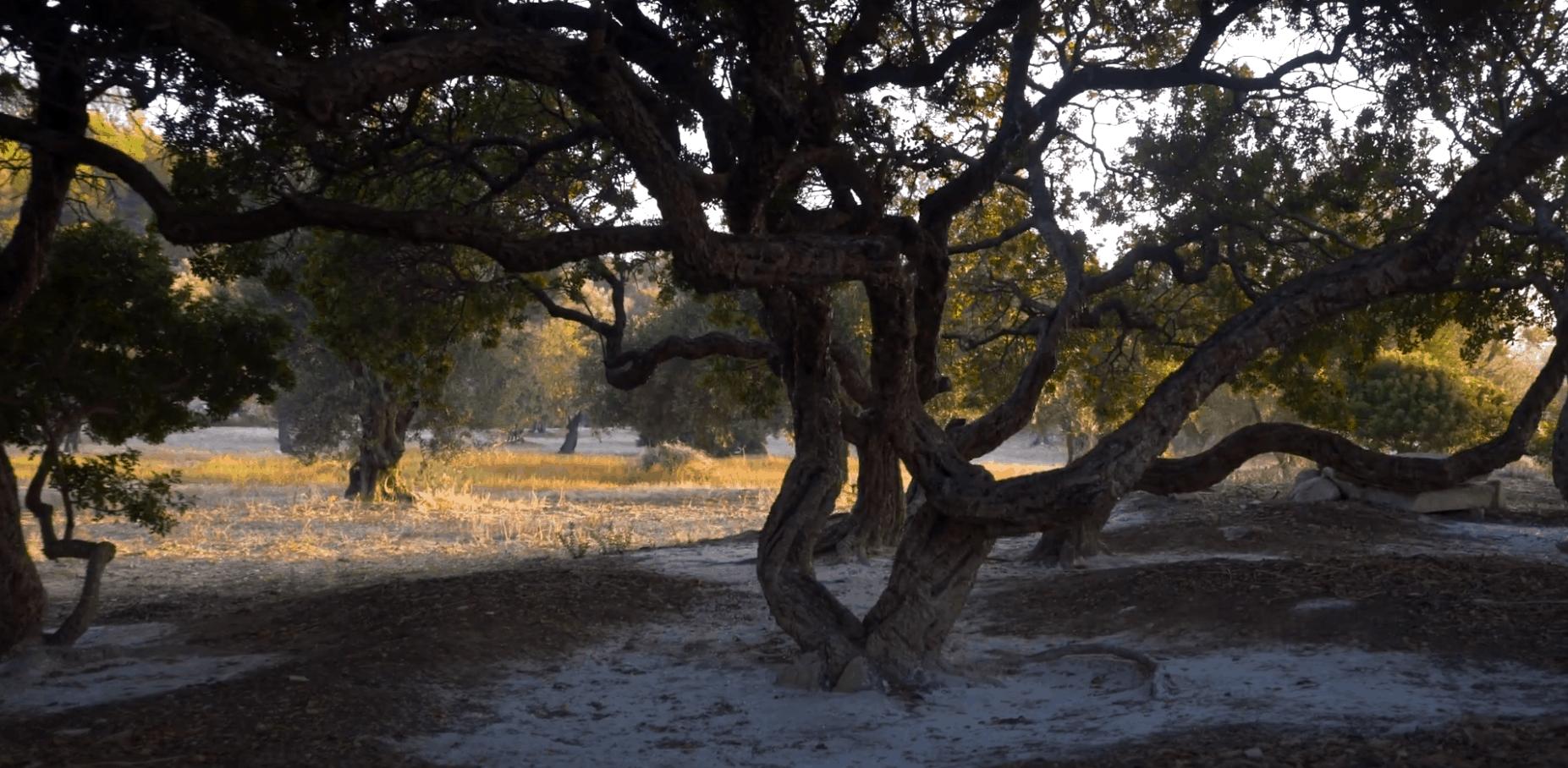 Pistacia Lentiscus - mastichový strom