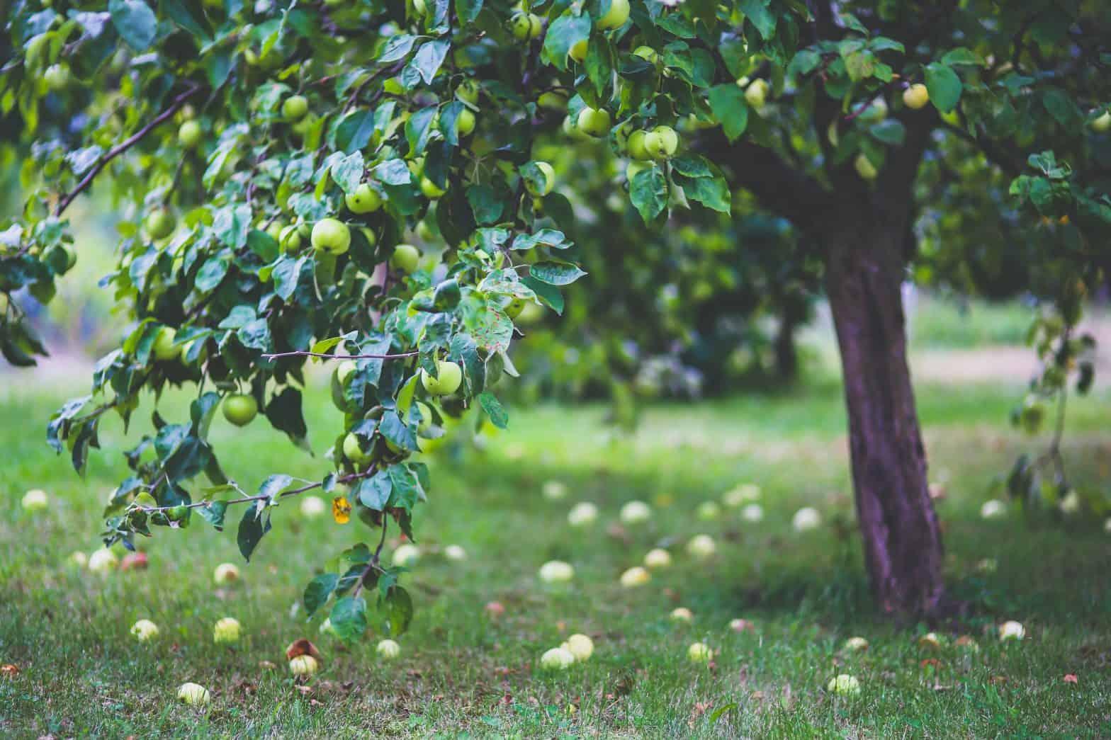 Jablčný ocot - účinky