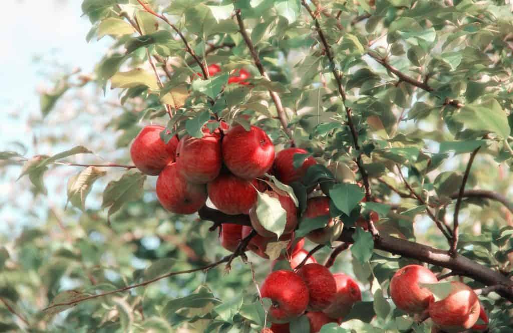 Strom s jablkami